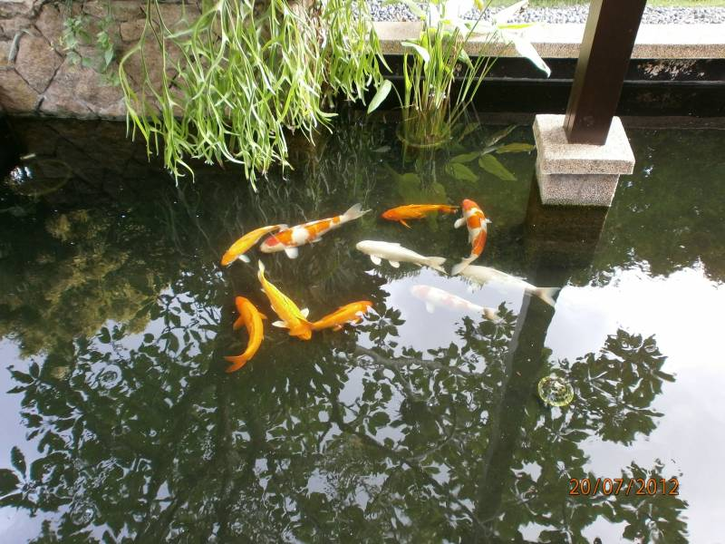 Koi pond cleaning and maintenance service singapore for Koi fish pond maintenance