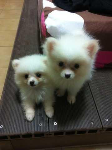 White Teacup Pomeranian puppies for sale! • Singapore Classifieds