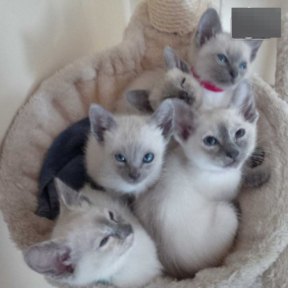 Burmese x cats for sale