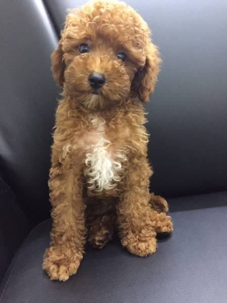 Puppies For Sale Japanese Spitz Toy Poodle Chow Chow