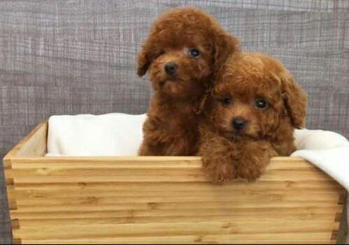 Baby Toy Poodles For Sale Goldenacresdogscom