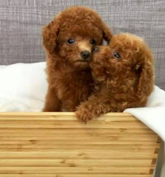 Taiwan Breed Red Color Tiny Toy Poodle For Sale