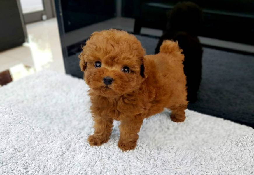 Tiny Toy Poodle Puppy Singapore