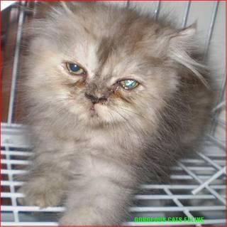 Persian Cat For Adoption Singapore