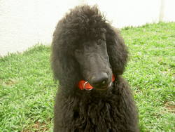 STANDARD POODLES PUPPIES FOR SALE • Singapore Classifieds